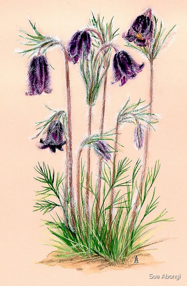 Pulsatilla pratensis ssp. nigricans by Sue Abonyi
