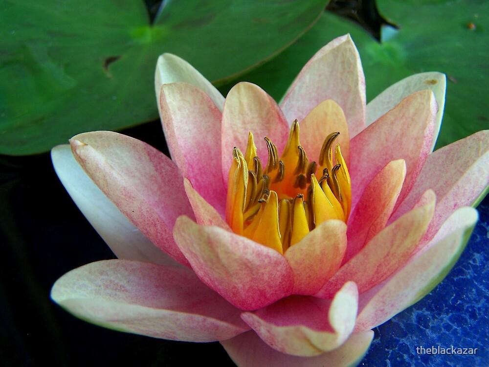 water lily II by theblackazar