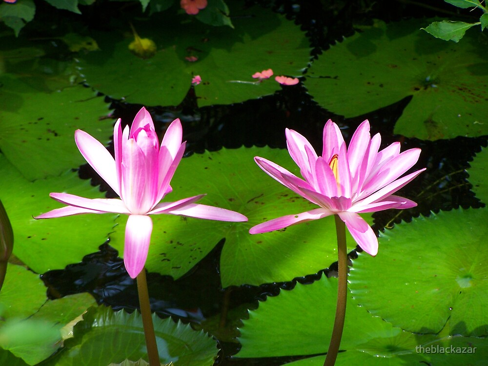 water lily III by theblackazar