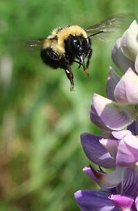 bee by panthrcat