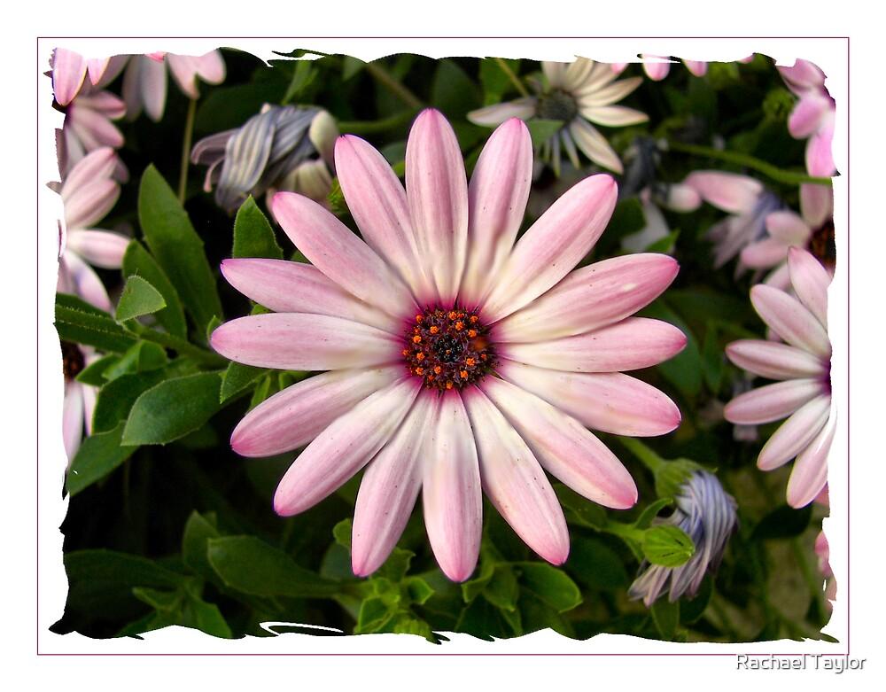 Daisy by Rachael Taylor