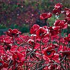 Poppies by adrianpym