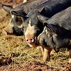 Three Little Pigs by Kathleen Daley