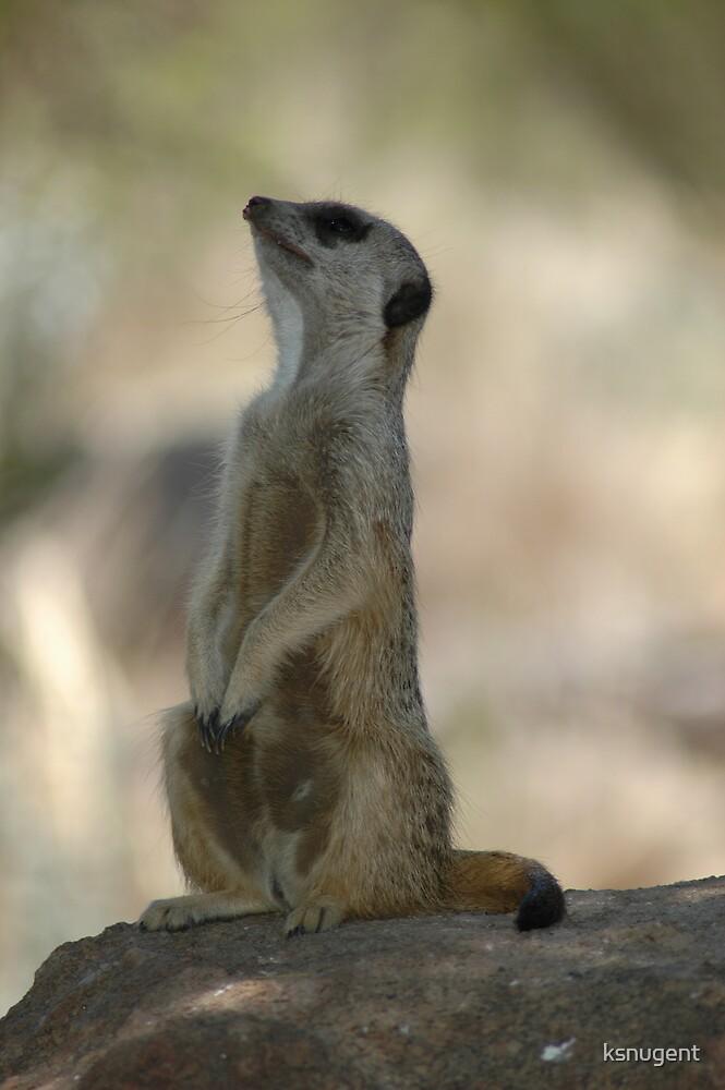 Meerkat by ksnugent