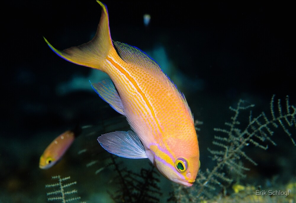 One-stripe Anthias by Erik Schlogl