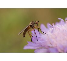 Dagger Fly Photographic Print