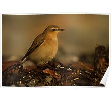 Northern Wheatear Poster