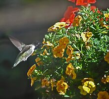 WHITE EARED COSTA'S ENJOYING THE NEW SPRING FLOWERS by JAYMILO