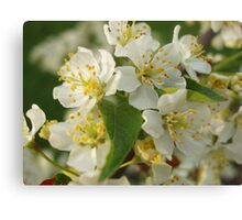 White Crabapple Blossoms Canvas Print