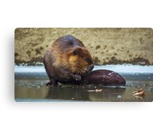 Beaver on the Ice at McConnell's Mill (Mid November 2014) Canvas Print