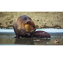 Beaver on the Ice at McConnell's Mill (Mid November 2014) Photographic Print