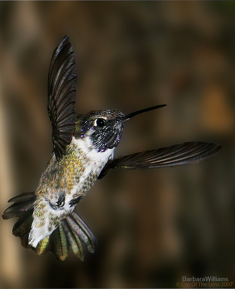Humming Bird by BarbaraWilliams