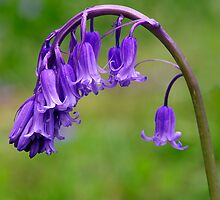Bluebells (Hyacinthoides non-scripta) by Alan Wood
