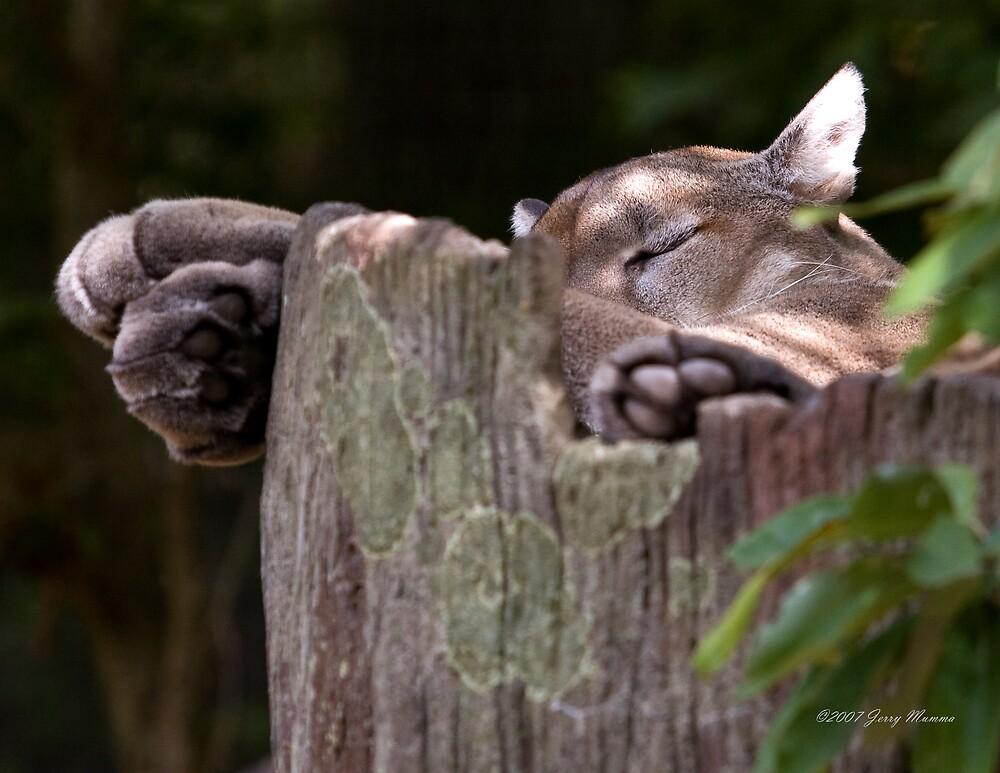 Cougar Sleeping by Jerry  Mumma