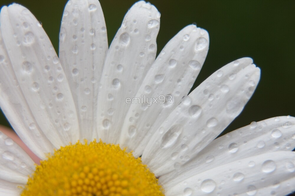 Gerbera Daisy by emilyx93