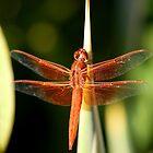Dragon In Red by DARRIN ALDRIDGE