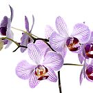 Orchid Light 6 by Dave Lloyd