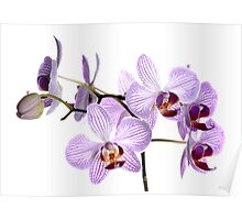 Orchid Light 6 Poster