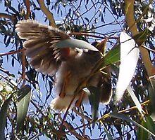 Baby Noisy Miner taking flight by lettie1957