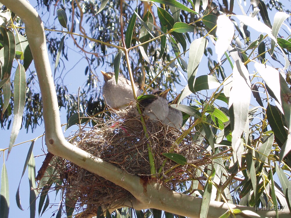 Baby Noisy Miners in a nest  by lettie1957
