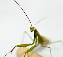 Praying Mantis by Leisa  Hennessy