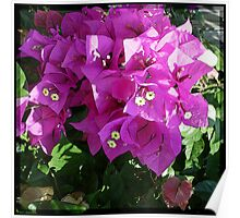 Purple Bougainvilla Poster