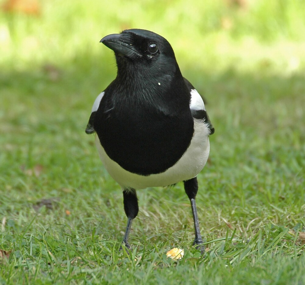 Magpie by Catherine Brock