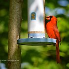 Cardinalis Cardinalis | Northern Cardinal - Center Moriches, New York by © Sophie W. Smith