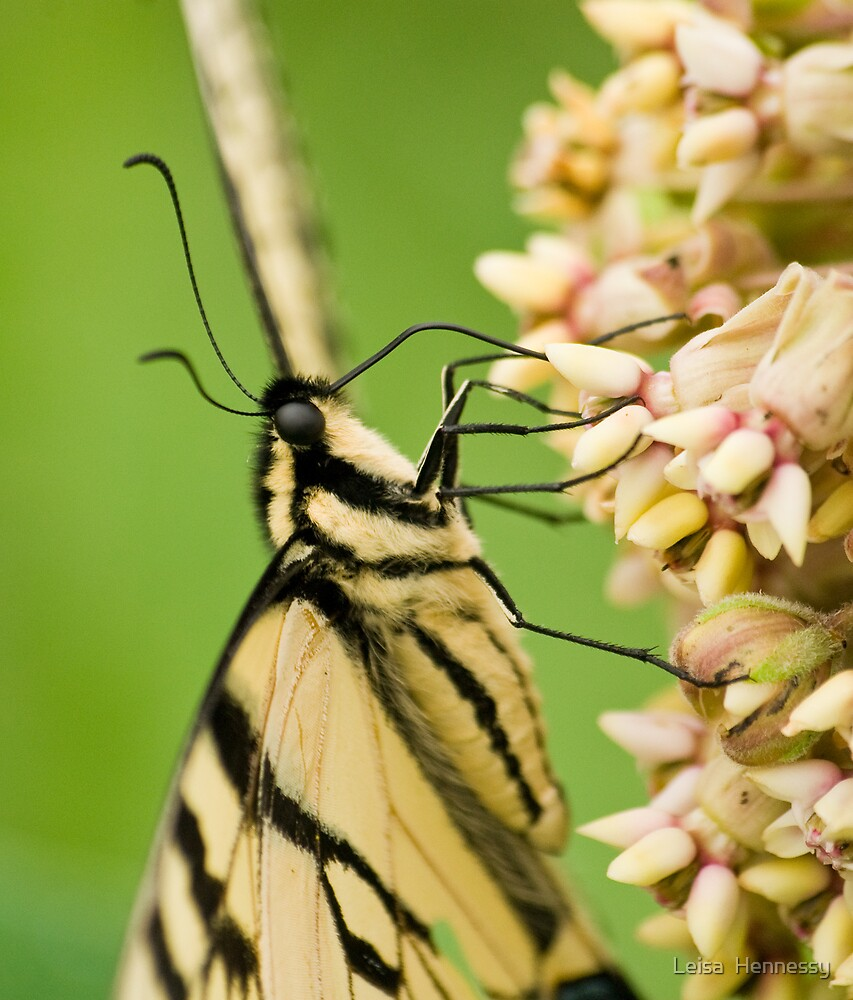 Swallowtail Butterfly by Leisa  Hennessy