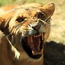 Angry Lioness by Daniela Pintimalli
