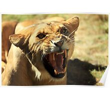 Angry Lioness Poster