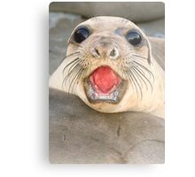 A female Elephant seal Mirounga angustirostris Metal Print