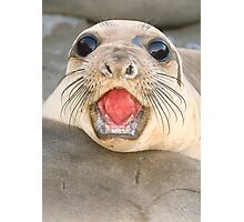 A female Elephant seal Mirounga angustirostris Photographic Print
