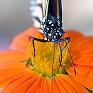 Monarch Butterfly, front view by Eyal Nahmias