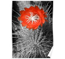 Red Cactus flower blossom Poster