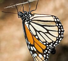Monarch Butterfly closeup on a twig by Eyal Nahmias