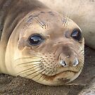 Young Elephant Seal pup by Eyal Nahmias