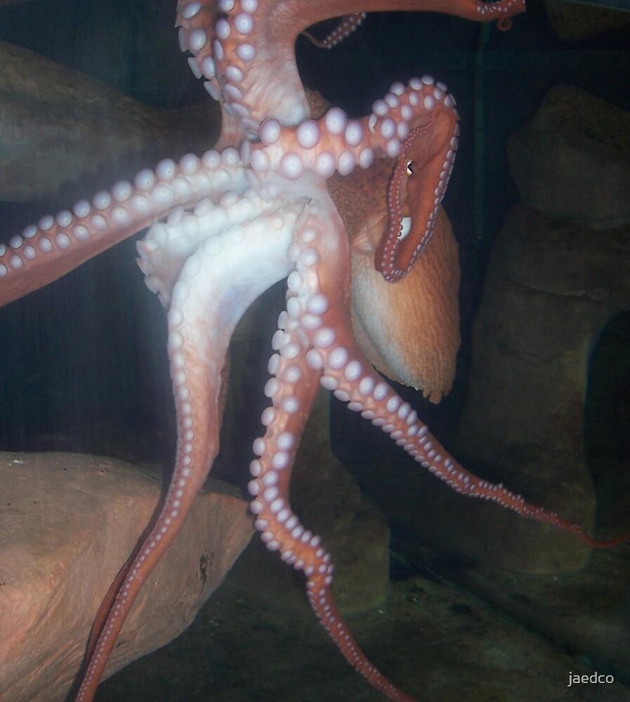 Octopus by jaedco
