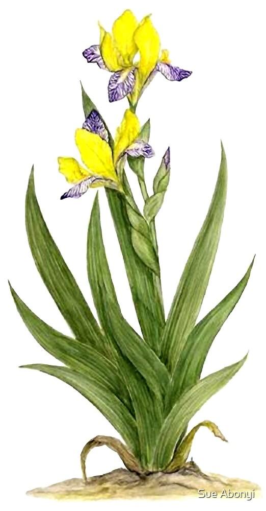 Hungarian Iris - Iris variegata by Sue Abonyi