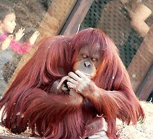 OrangUtan Coiffure by Tom Newman
