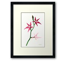 Pink Fairy Orchid (Caladenia latifolia) Framed Print