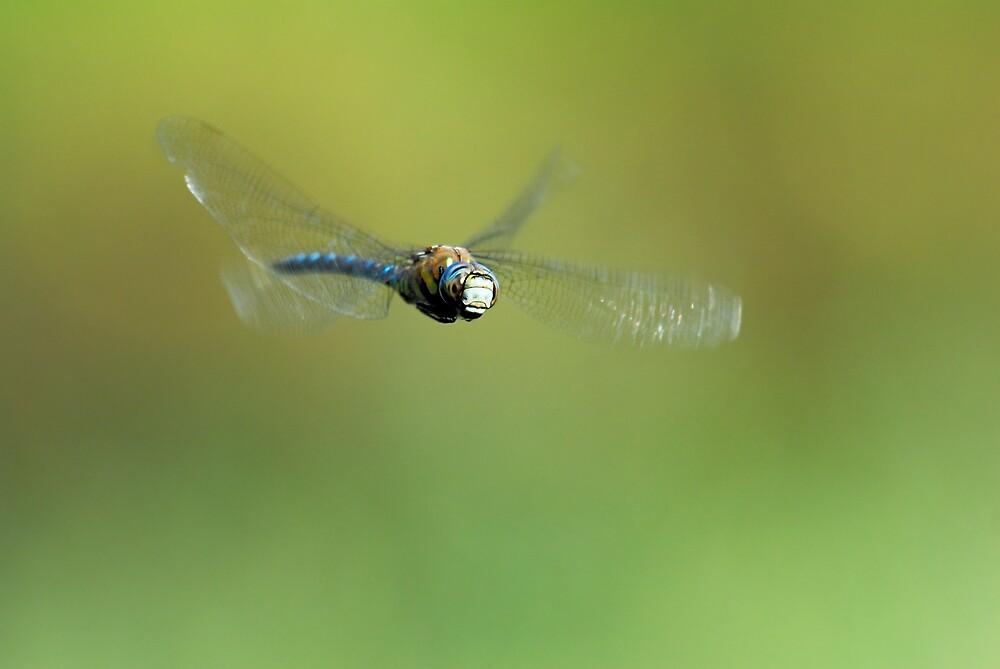 Aeshna mixta in flight by pete49027