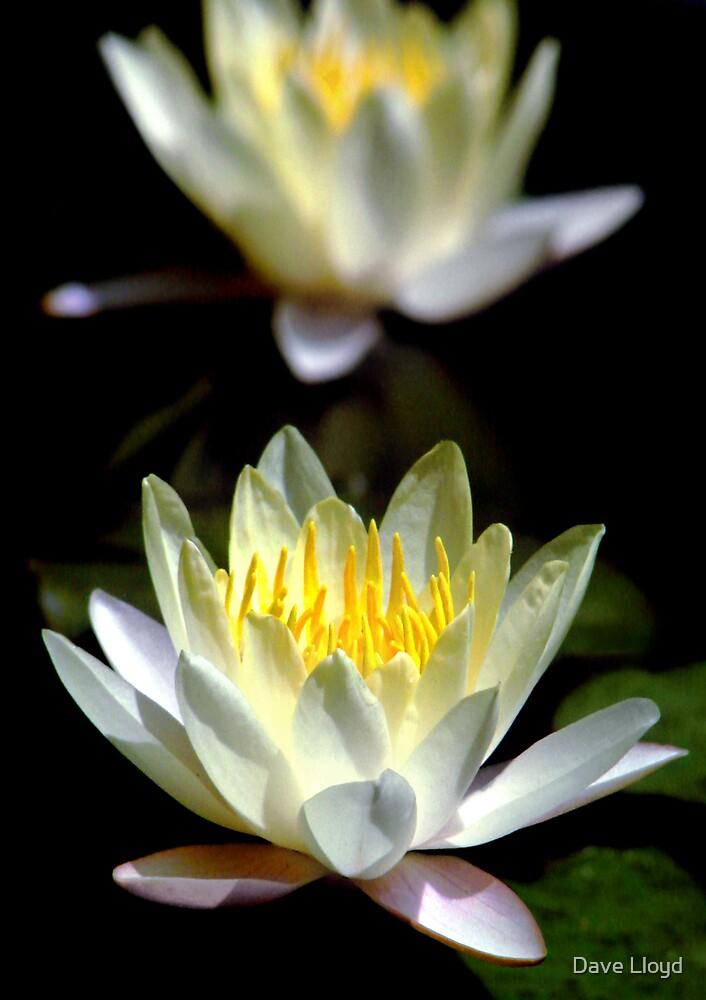 Lotus Mirror by Dave Lloyd