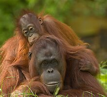 mother orangutan with her cute baby by Enjoylife