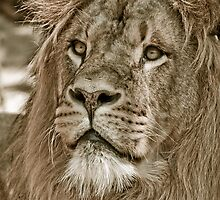portrait of a big African male lion by Enjoylife