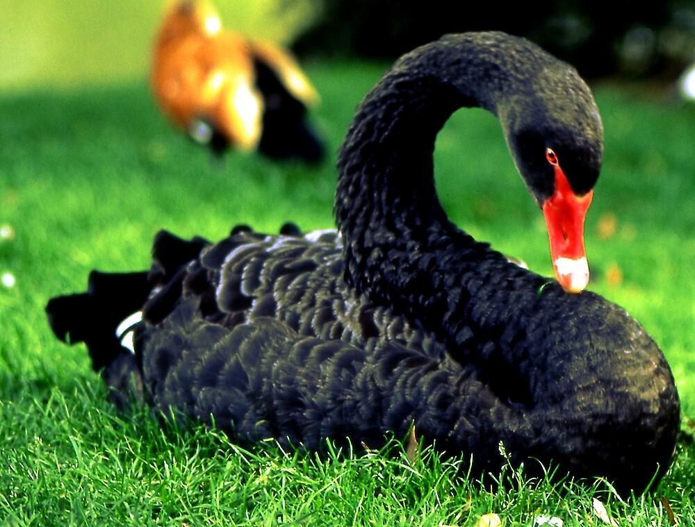 Black Swan by kitlew