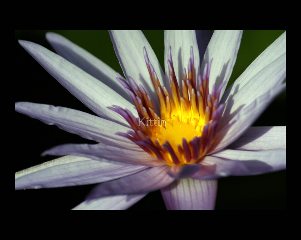 water lily 02 by Kittin