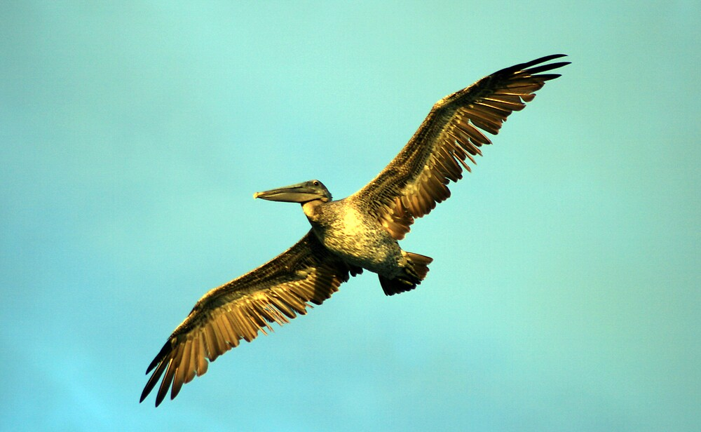 Pelican in flight by Hayley Evans