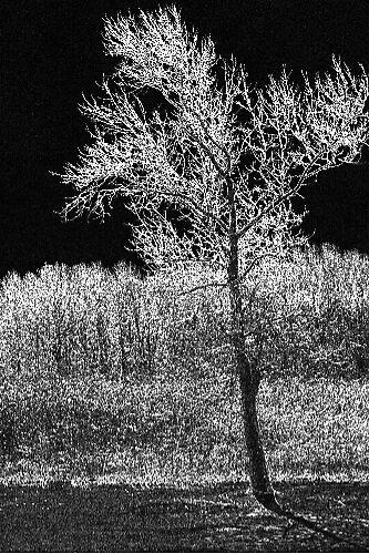 WINTER TREE B&W by LESLIE KING