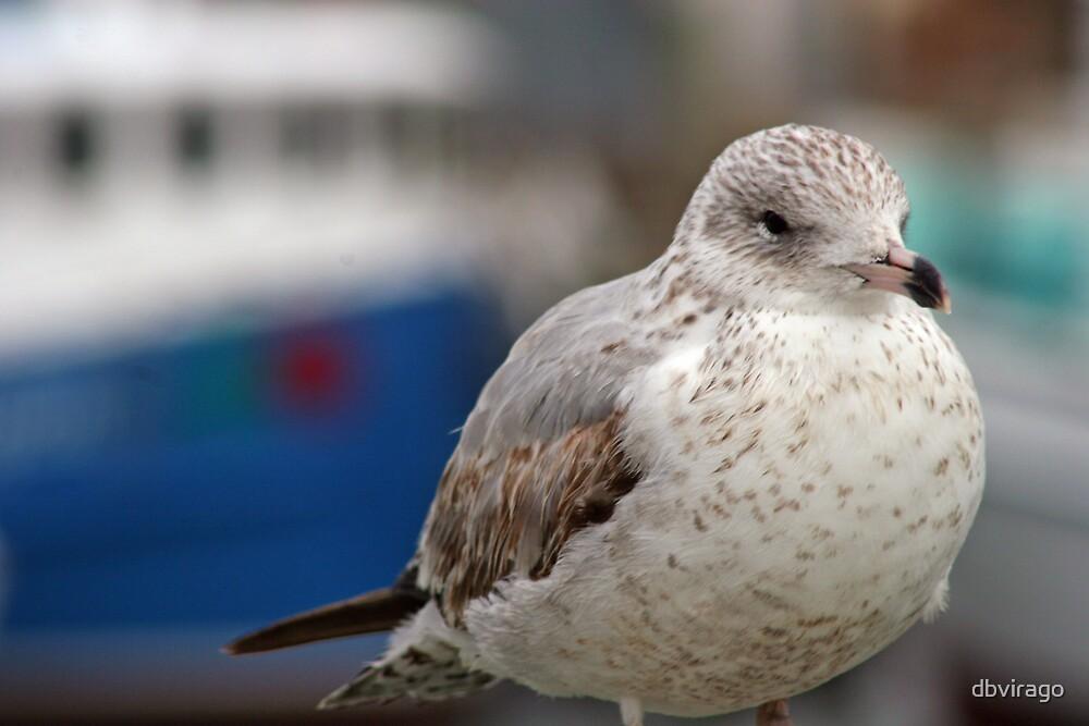 Gull by dbvirago